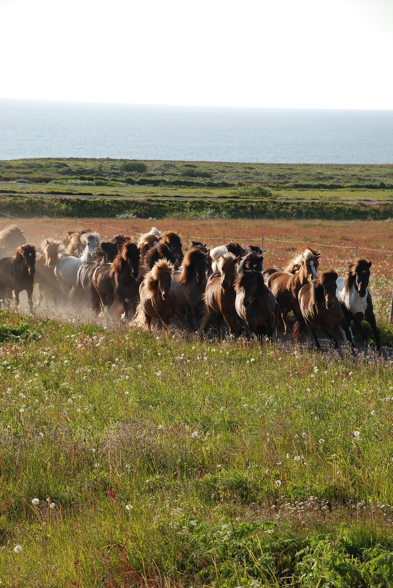 hest ridetur island