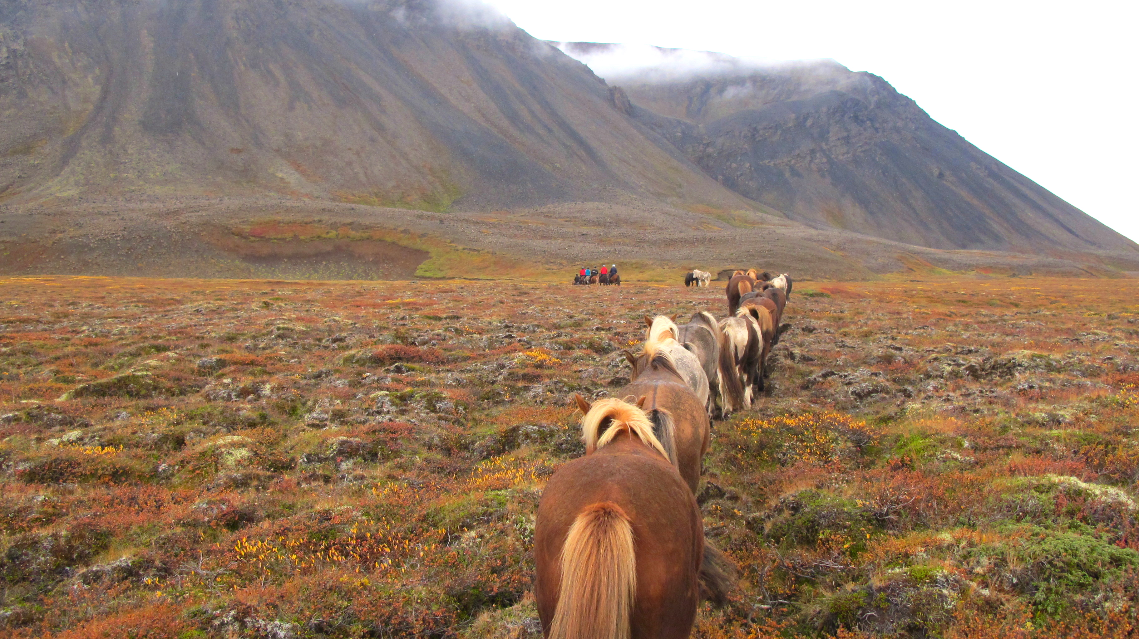 iceland island hest ridetur